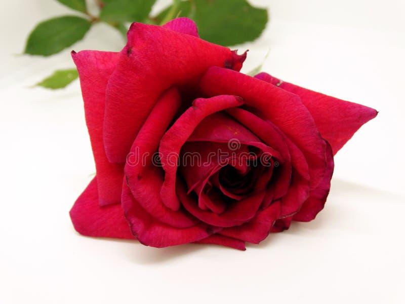 Изолированный цветок красной розы на белой предпосылке стоковые фото