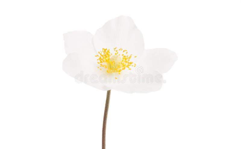 Изолированный цветок морозника стоковые фотографии rf