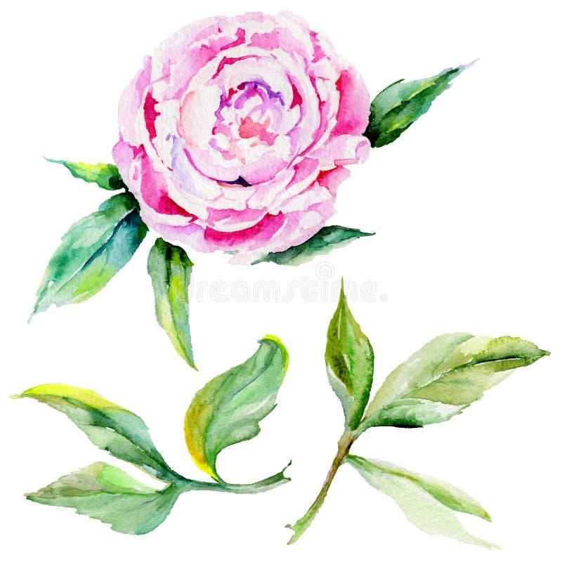 Изолированный цветок пиона Wildflower в стиле акварели иллюстрация вектора