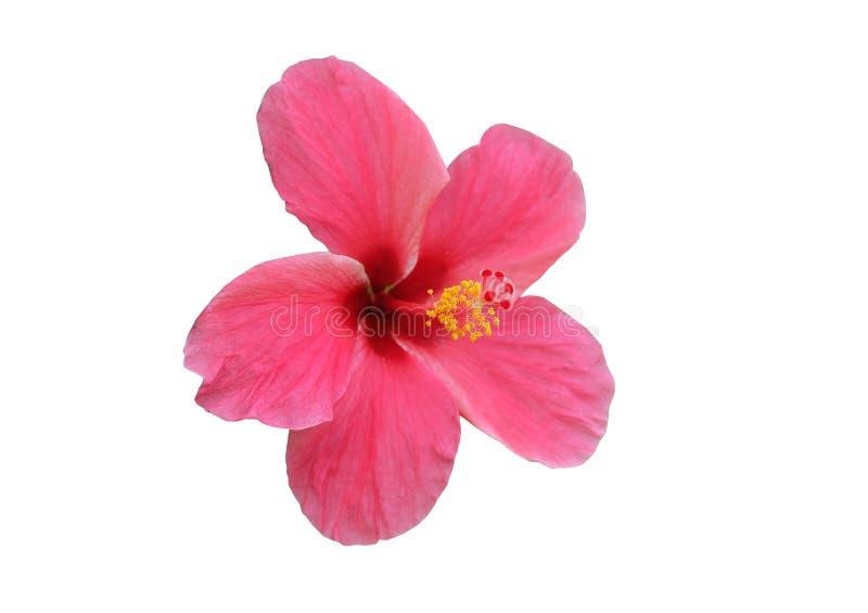 Изолированный цветок 'розовый цветок Hibiscus на'белый'* фон '... стоковые фотографии rf