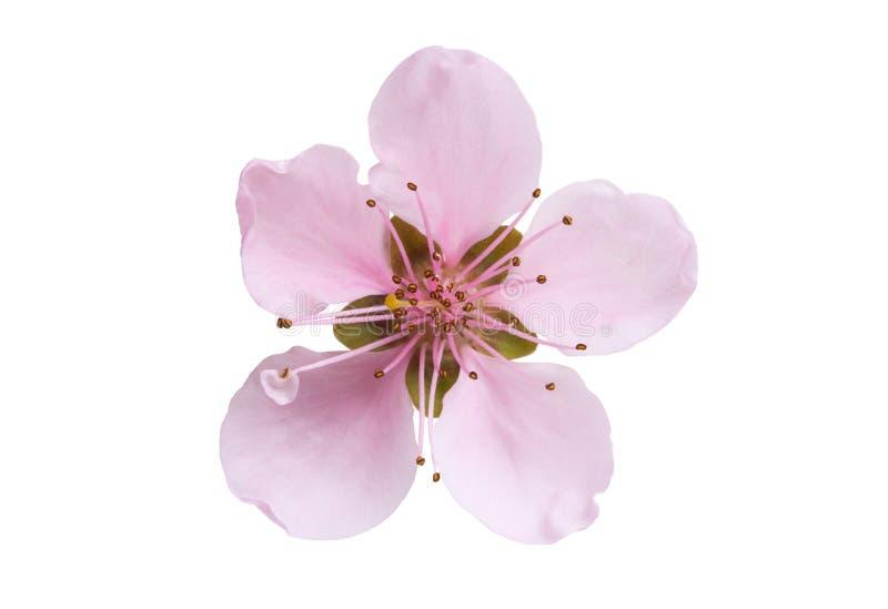 Изолированный цветок Сакуры стоковые фотографии rf