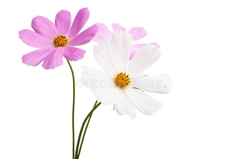 Изолированный цветок Cosme стоковые фотографии rf