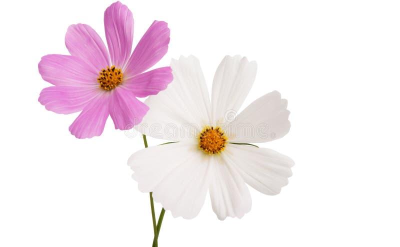 Изолированный цветок Cosme стоковое фото rf