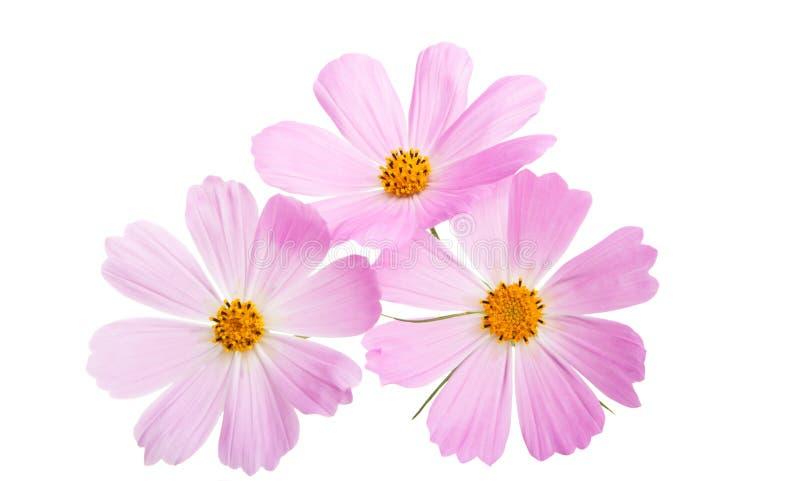 Изолированный цветок Cosme стоковые изображения