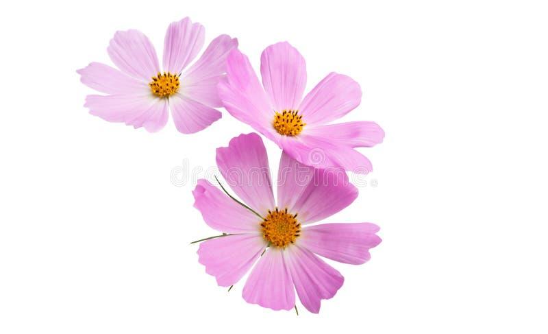 Изолированный цветок Cosme стоковое изображение rf