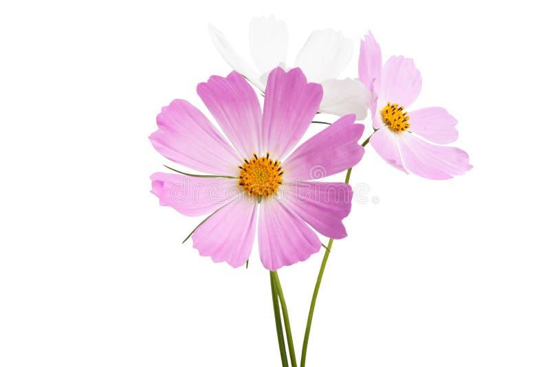 Изолированный цветок Cosme стоковое изображение