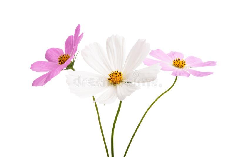 Изолированный цветок Cosme стоковое фото