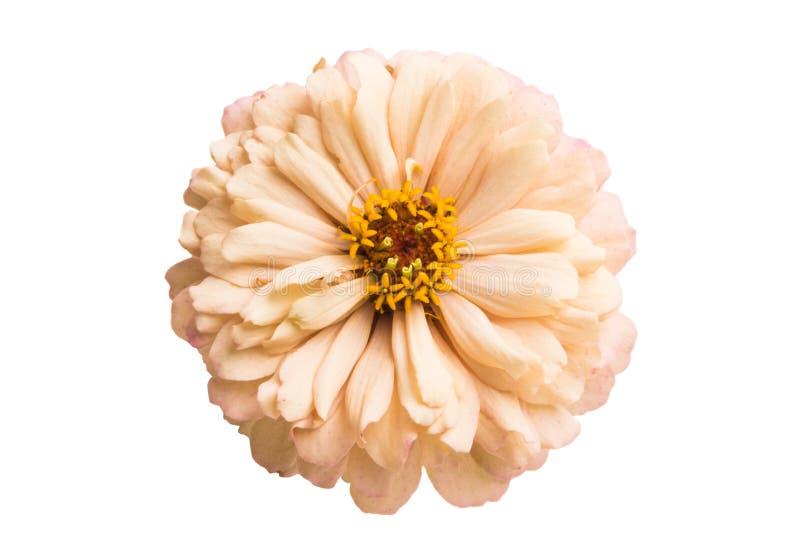 Изолированный цветок Zinnia стоковая фотография