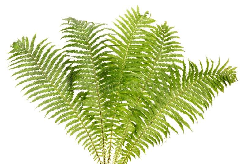 Изолированный bush папоротника реальный стоковые изображения rf