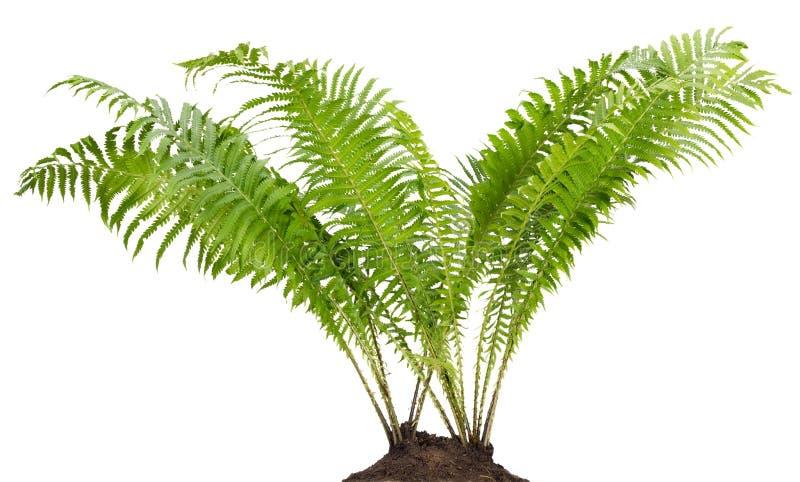 Изолированный bush пущи папоротника реальный стоковое фото rf