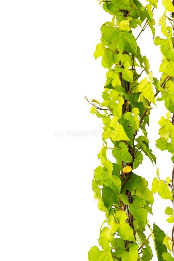 Изолят завода плюща зеленого цвета природы на белой предпосылке стоковая фотография