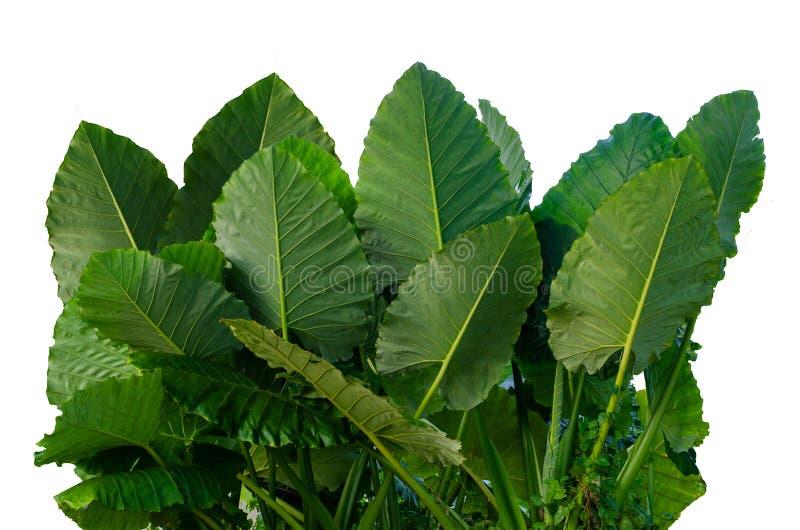 Изолят предпосылки нашивки штыря ornata Calathea листьев белый стоковое фото
