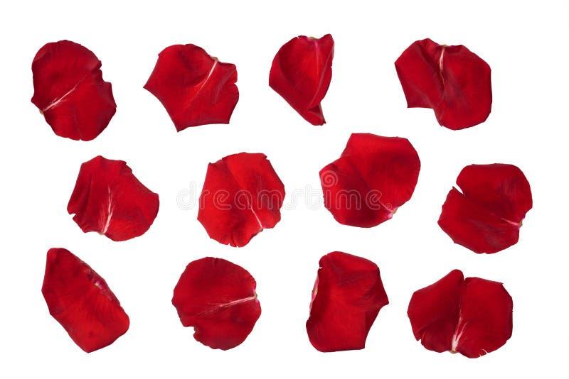 изолированная белизна розы лепестков стоковые фото