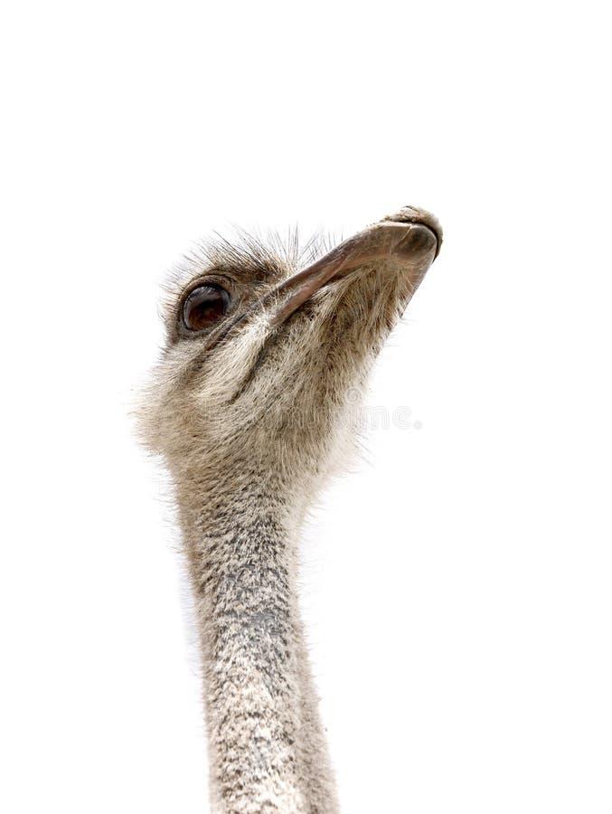 изолированная белизна страуса стоковые фото