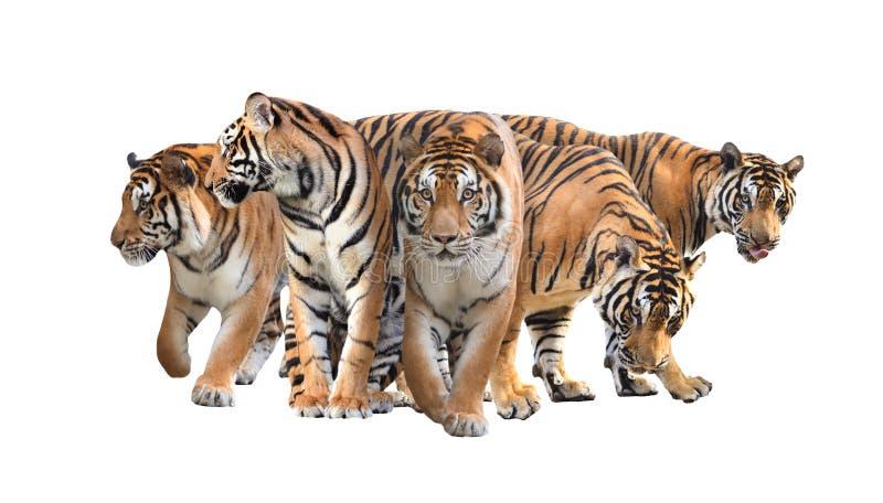 Изолированная группа в составе тигр Бенгалии стоковая фотография rf
