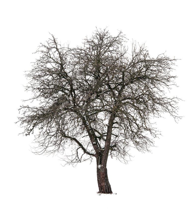 Изолированная груша дерева стоковая фотография