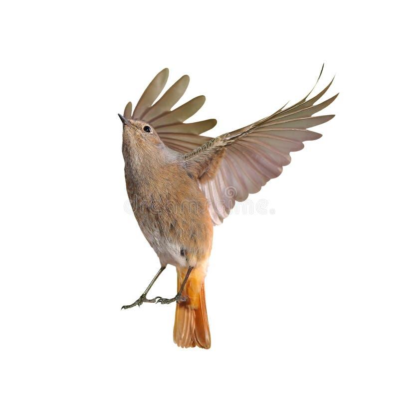 Изолированная женщина летания птицы redstart стоковое фото rf
