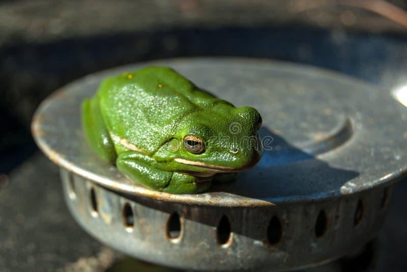 Изолированная зеленая древесная лягушка стоковое фото