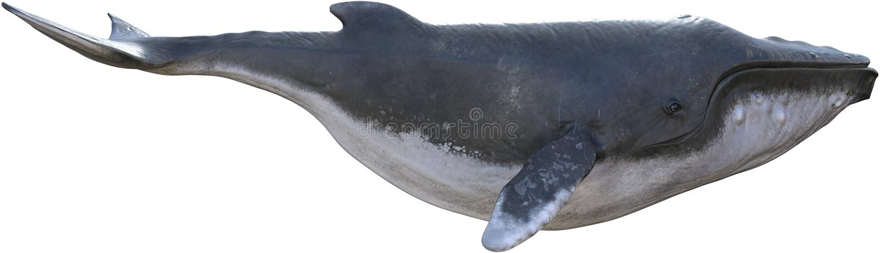 Изолированная иллюстрация горбатого кита животная иллюстрация штока