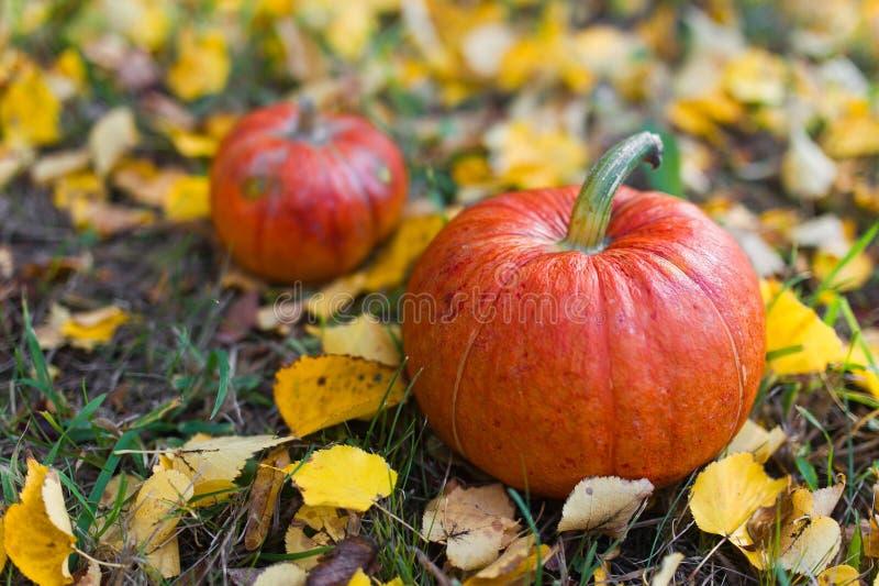 изолированная осенью белизна тыквы стоковое изображение rf