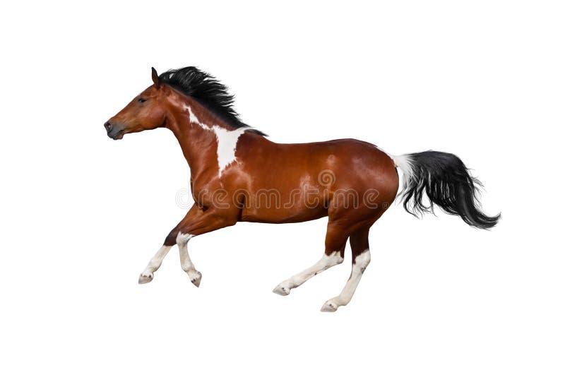 Изолированная лошадь пегой лошади стоковые изображения rf