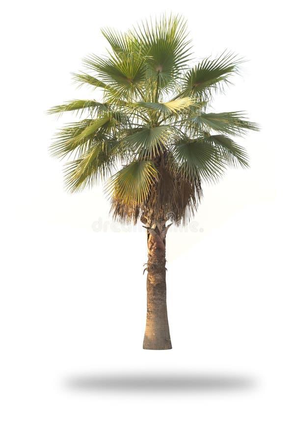 Изолированная пальма стоковые изображения rf