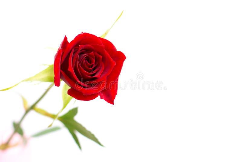 изолированная предпосылкой белизна розы стоковое фото rf