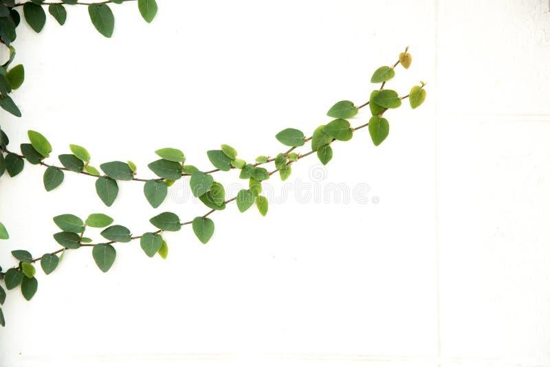 Изолированная смоква зеленого плюща взбираясь стоковое изображение rf