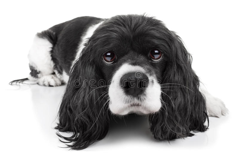 Изолированная собака Spaniel стоковое фото rf