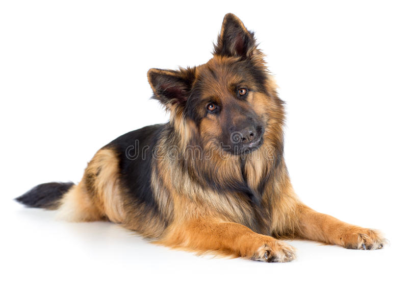 Изолированная студия портрета собаки немецкой овчарки длинн-с волосами стоковое изображение