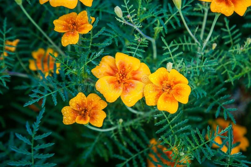 изолированная цветком белизна ноготк стоковое фото