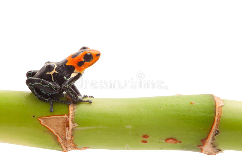 Изолированная лягушка стрелки отравы стоковые фотографии rf