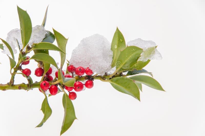 Изолированная snowcovered хворостина падуба с ягодами стоковая фотография