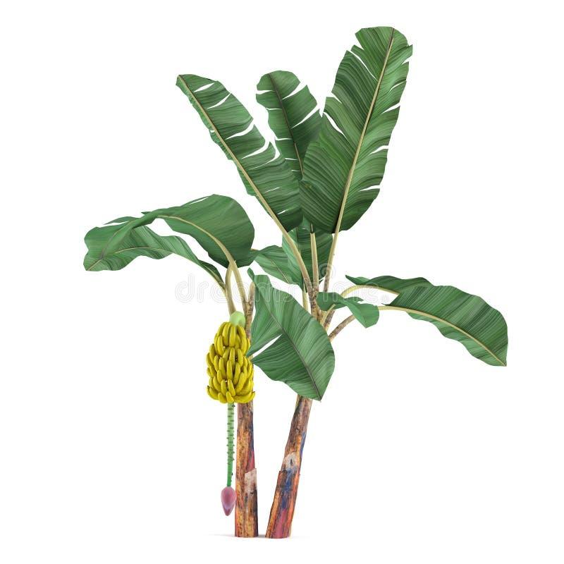 Изолированное дерево завода ладони. Банан acuminata Musa иллюстрация штока