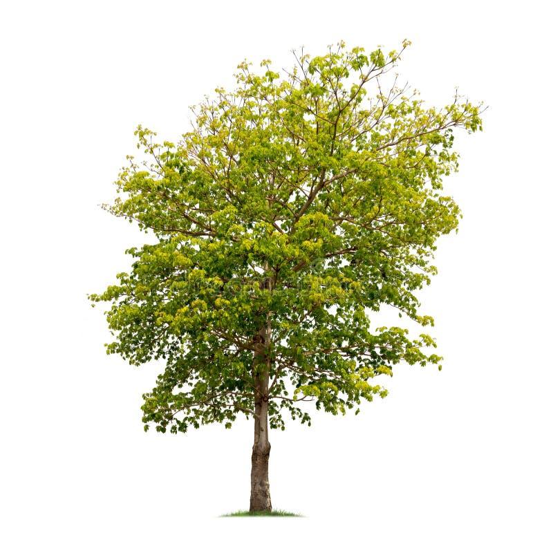 Изолированное дерево на белой предпосылке стоковая фотография