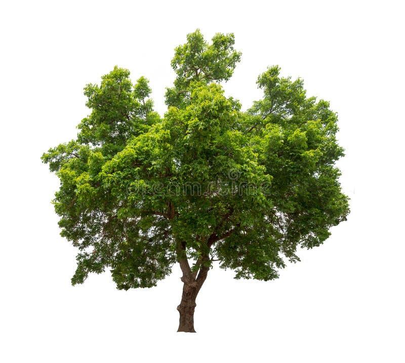 Изолированное дерево на белой предпосылке стоковое фото rf