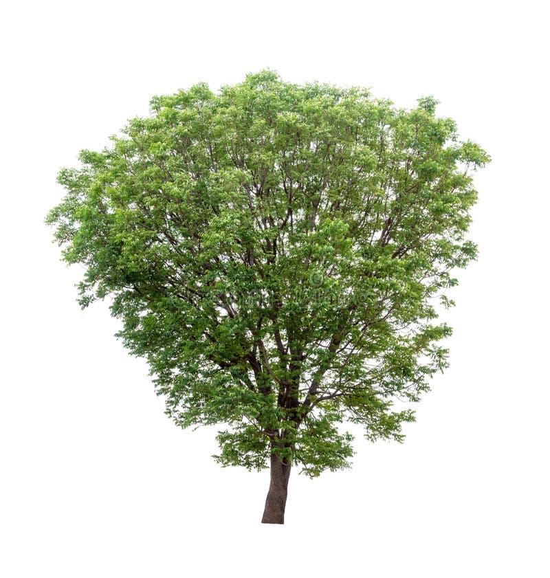 Изолированное дерево на белой предпосылке стоковые изображения