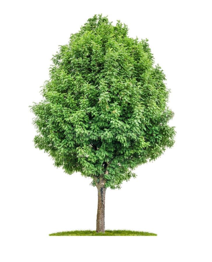 Изолированное дерево рябины стоковое фото