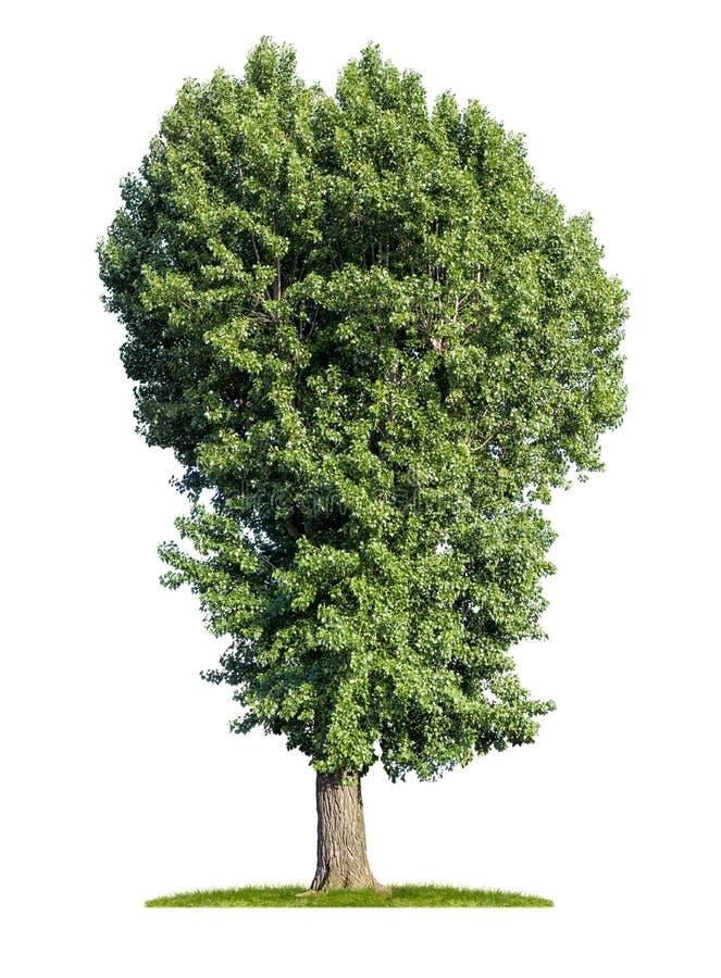 тополь дерево картинка для мефистофель вечный сюжет