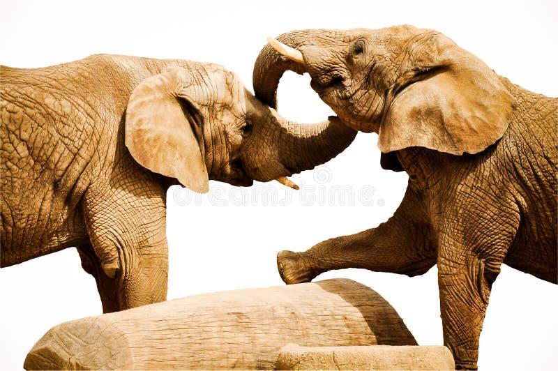 Изолированное столкновение африканского слона - стоковая фотография rf