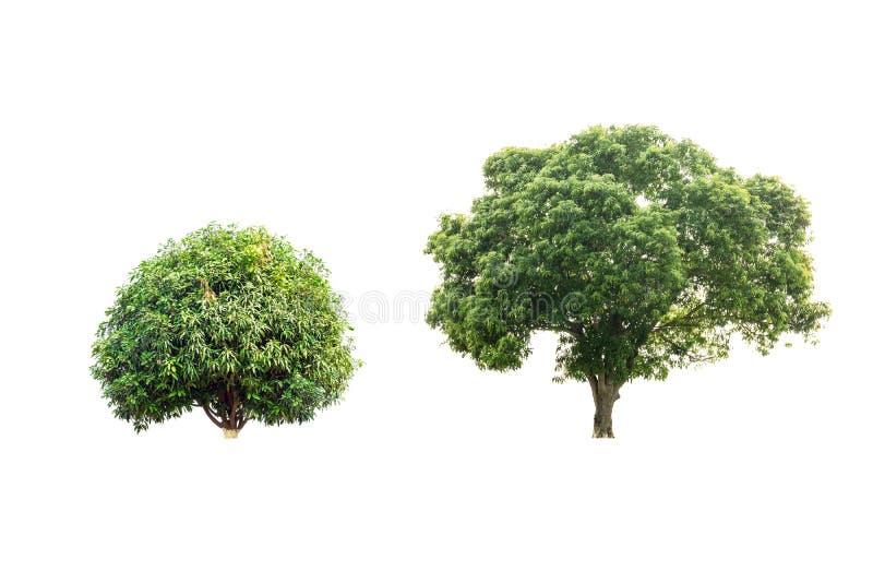 Изолированные деревы манго стоковая фотография
