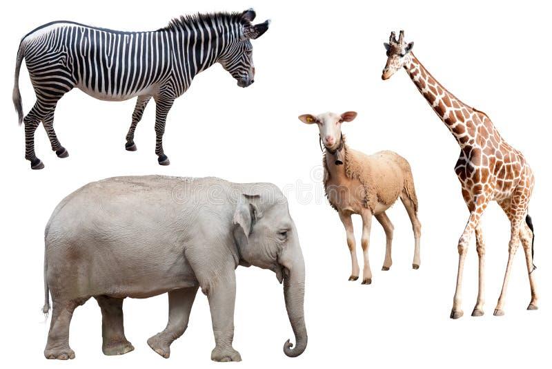 Изолированные зебра, слон, овцы и жираф стоковые изображения rf