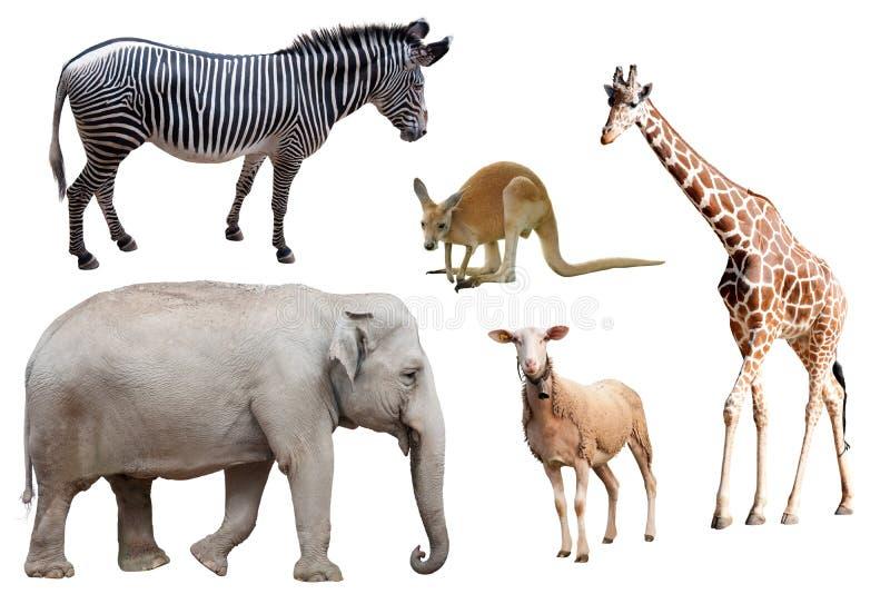 Изолированные зебра, слон, овцы, кенгуру и жираф стоковая фотография
