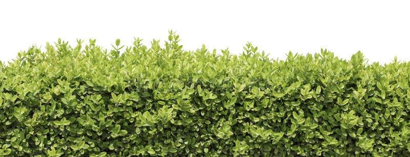 Изолированные изгородь или куст стоковое изображение rf