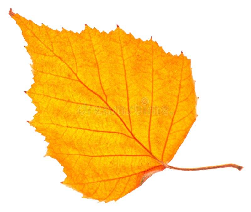Изолированные лист желтой березы стоковое изображение