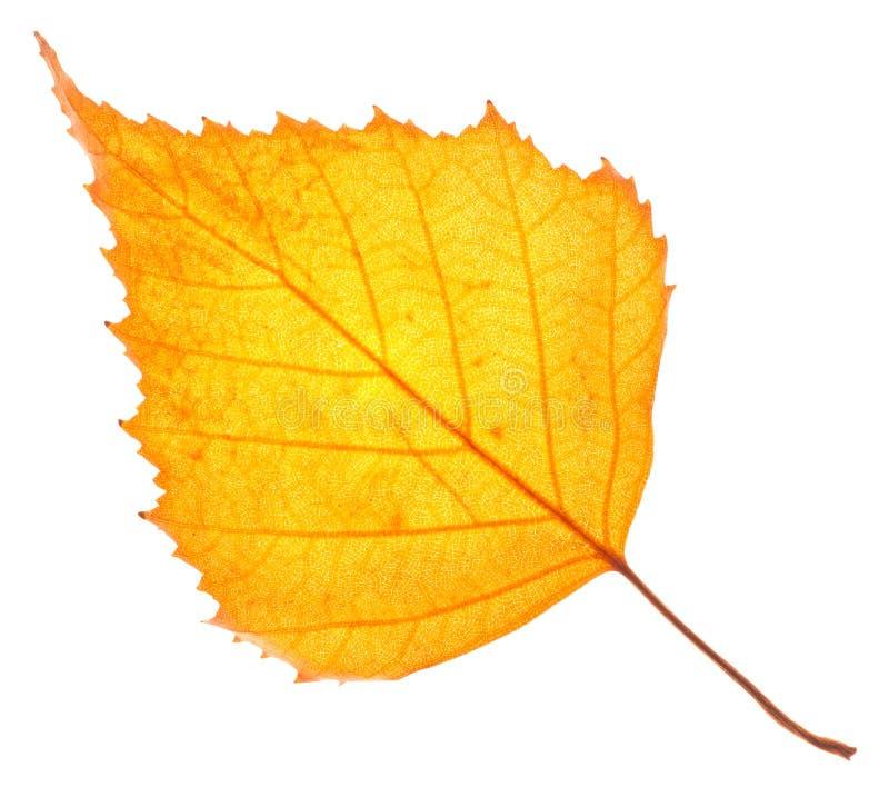 Изолированные лист желтой березы стоковые фото