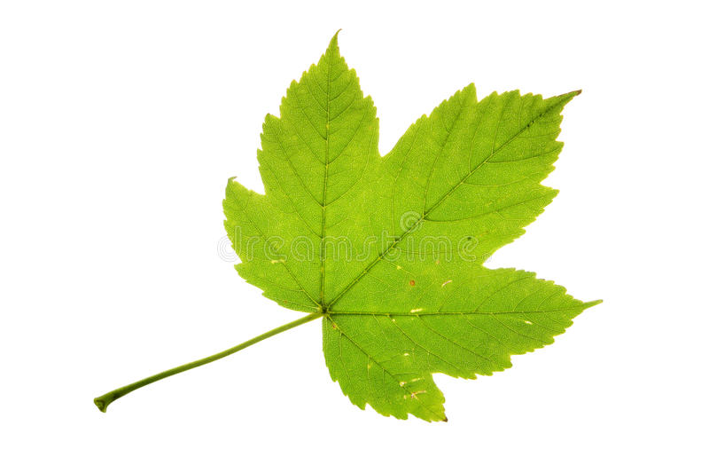 Изолированные лист клена явора (pseudoplatanus acer) стоковое изображение rf