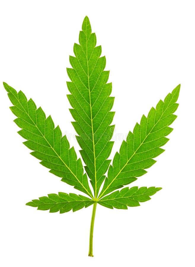 Изолированные лист марихуаны стоковое изображение rf