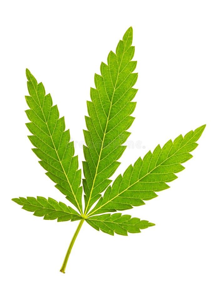 Изолированные лист марихуаны стоковые изображения