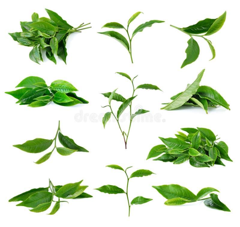 Изолированные лист чая стоковая фотография rf